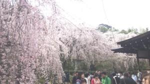 京都嵐山の龍安寺 しだれ桜