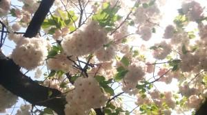 桜の通り抜け2013