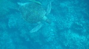 アマンワナウミガメ